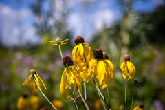 Graslandkegelblume Stockbild