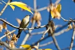 Grasmus geel-Rumped in Autumn Tree wordt neergestreken dat Royalty-vrije Stock Afbeelding