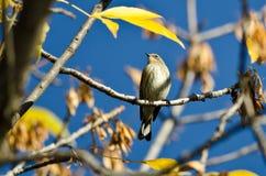 Grasmus geel-Rumped in Autumn Tree wordt neergestreken dat Royalty-vrije Stock Foto's