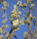 Grasmus-tenkovka van de vogel royalty-vrije stock afbeeldingen