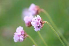 Grasnelkeblumen Lizenzfreie Stockbilder