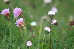 Grasnelkeblumen Stockfotografie