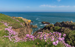 Grasnelkeblumen auf schottischer Ne-Küste Stockbild