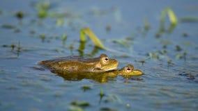 Grasnido verde de Marsh Frog e acoplamento na lagoa Ridibundus de Pelophylax filme