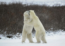 Grasp. Sparing. The polar bears fighting on snow which have got up on hinder legs. The bear has seized a mouth by a throat of the opponent Royalty Free Stock Images