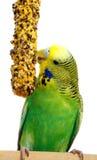 Grasparkiet met vogelzaad Stock Foto