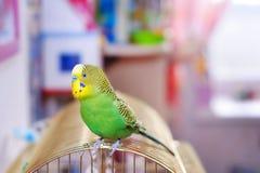 Grasparkiet op birdcage Stock Foto