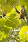 Cute Face Giant Fruit Bat. Grasping a branch with hind leg claws and hanging upside down in his roost, typical bat style from a tree with giant pale green leaves royalty free stock image
