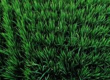 Grasrijk Padieveld in Dajia, Taiwan Royalty-vrije Stock Foto's