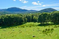 Grasrijke weide met schapen Stock Foto