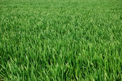 Grass. A shot of green grass can be used as texture Royalty Free Stock Photo