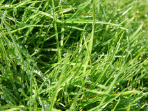 Grass. With Due Stock Photos