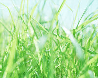 Grass. Close up of a field of grass Royalty Free Stock Images