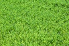 Grass. Fresh grass close up Stock Photos