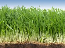Grass. Growing grass Stock Images