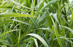 Grass. Detail of wet grass and drops Royalty Free Stock Image