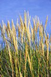 Grass. Dunes grass and blue sky background Royalty Free Stock Photo