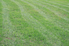 Grass. Has been trimmed off the grass royalty free stock photos