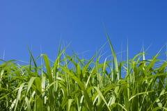 Grass. Green grass with blue sky Stock Photos