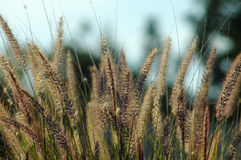 Grass. Long grass in the sun in a sunny garden in South Africa Stock Photography