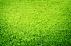 Grass. Beautiful Fresh Green Grass Background stock images