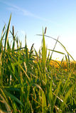 Grass. Green meadow grass in the background rape Stock Photo