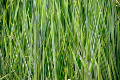Grass. Close up of grown grass after raining time stock images
