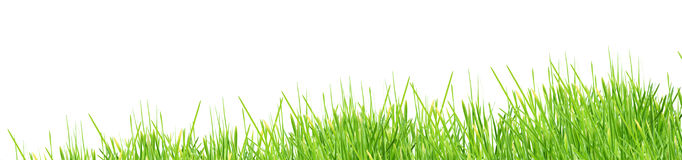 Grass. Isolated green grass on a white background Royalty Free Stock Image