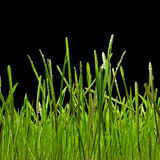 Grass. Green wet grass isolated on black background Royalty Free Stock Photo
