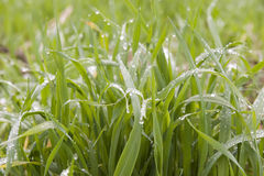 Grass. Green grass with small lots of water drops in it,taken in winter moring Royalty Free Stock Photos