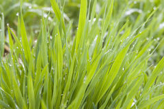 Grass. Green grass with small lots of water drops in it,taken in winter moring Stock Image