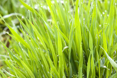 Grass. Green grass with small lots of water drops in it,taken in winter moring Royalty Free Stock Images