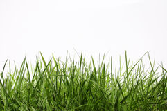 Grass. On a white background royalty free stock photography
