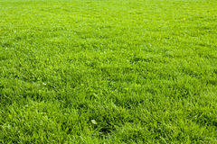 Grass. Meadow with green grass, on a clear sunny day Royalty Free Stock Image