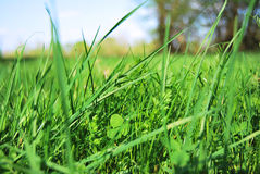 Grass. Very green grass from nature Royalty Free Stock Image