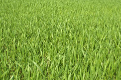 Grass. Green grass on the background Royalty Free Stock Images