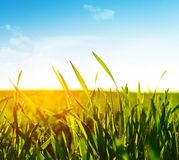 Grass Royalty Free Stock Photography