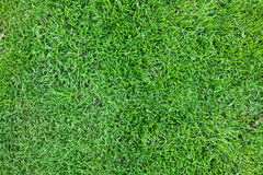 Grass. Closeup detail of texture in green grass lawn Stock Photo