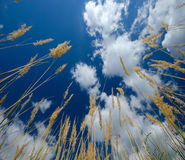 Grass. Dry grass under bright sunny blue sky Royalty Free Stock Images