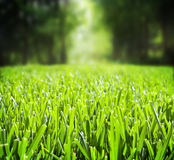 Grass. A close low perspective or view of St. Augustine grass stock photography