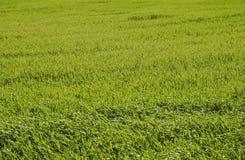 Grass. Detail of a grass field Stock Photography
