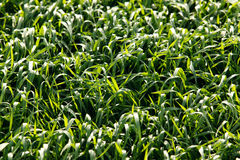 Grass. Shiny green grass background. texture royalty free stock photos