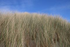 Grass. On a dune with blue sky overhead Royalty Free Stock Image