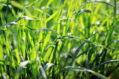 Grass. Light green grass from spring morning Stock Image