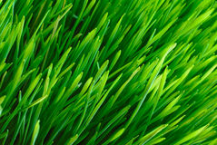 Grass. Spring grass texture, fields and meadows Royalty Free Stock Photo