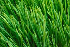 Grass. Spring grass texture, fields and meadows Stock Photo