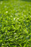 Grass. Close-up of grass on a neatly trimmed lawn royalty free stock images
