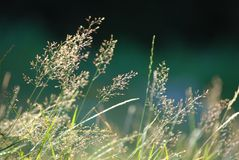 Grass. A grass detail in morning light Royalty Free Stock Photography