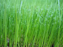 Grass. With raindrops Royalty Free Stock Images