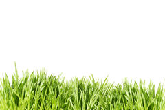 Grass. Green wet grass in a white background Stock Photography